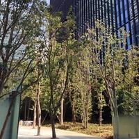 (仮称) 大手町1-6計画 ( 東京プライムステージ ) 大手町の森に木が...