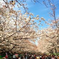 上野恩賜公園 上野公園 アーチ ueno 観光客 sakura 規模 park 桜 想像以上