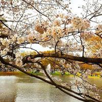代々木公園 思い出話 yoyogi 東京代々木 日本酒 いい花見日和 sakura 真ん中 池